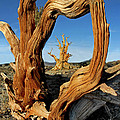 Looking Through A Bristlecone Pine by Dave Mills