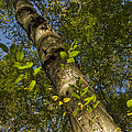 Looking Up At A Tree Trunk by Todd Gipstein
