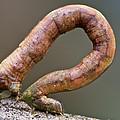 Looper Moth Geometridae Caterpillar by James Christensen
