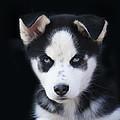 Lop Eared Siberian Husky Puppy by Kathy Clark