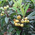 Loquats In The Rain by Mary Deal