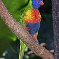 Lorikeet by S Paul Sahm