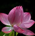 Lotus Beauty--beauty In Disarray Dl027 by Gerry Gantt