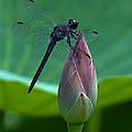 Lotus Bud And Slatey Skimmer Dragonfly Dl072 by Gerry Gantt