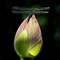 Lotus Bud And Slatey Skimmer Dragonfly Dl076 by Gerry Gantt