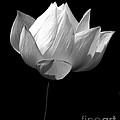 Lotus Bw by Mark Gilman