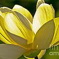 Lotus Flower by Heiko Koehrer-Wagner