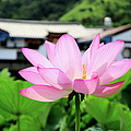Lotus Flower by Michaeliao27