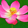 Lotus by Jean Noren