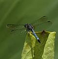 Lotus Leaf And Blue Dasher Dragonfly Dl058 by Gerry Gantt