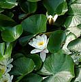 Lotus by LeeAnn McLaneGoetz McLaneGoetzStudioLLCcom