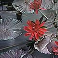 Lotus by Oleg Dashevsky