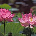Lotus Pair 24m by Gerry Gantt