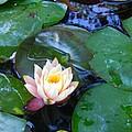 Lotus by Sarah Vandenbusch