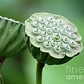 Lotus Seed Pods by Sabrina L Ryan