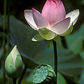 Lotus--stages Of Life I 24q by Gerry Gantt