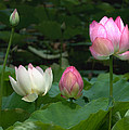 Lotus--stages Of Life II Dl024 by Gerry Gantt