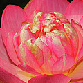 Lotus Unfolding by Dave Mills