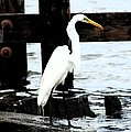 Louisiana Egret by Victoria Leyva