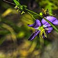 Louisiana Wildflower by Kathleen K Parker