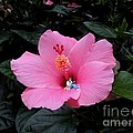 Lounging In A Hibiscus by Renee Trenholm