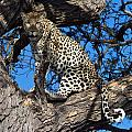Lounging Leopard Namibia by David Kleinsasser