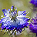 Love In The Mist - Nigella by Kathy Clark