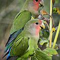 Lovebird Couple  by Saija  Lehtonen