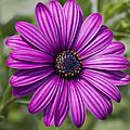 Lovely African Daisy - Osteospermum by Kathy Clark