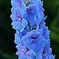 Lovely Larkspur Blue by Byron Varvarigos