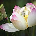 Lovely Lotus by Living Color Photography Lorraine Lynch