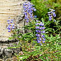 Lovely Lupine by Marilyn Hunt