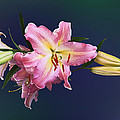 Lovely Pink Lilies by Susan Savad
