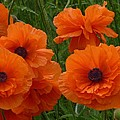 Lovely Poppies by Jeanette Oberholtzer
