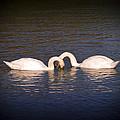 Loving Swans by Derek Holzapfel