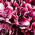 Low Key Pink Azalea by Steve Purnell