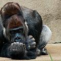 Lowland Gorilla by Keith Allen