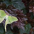 Luna Moth 1 by Douglas Barnett