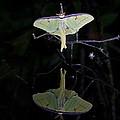 Luna Moth And Reflection by Bill Swindaman