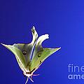 Luna Moth In Flight by Ted Kinsman