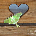 Luna Moth In Love by The Kepharts