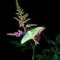 Luna Moth On Astilby Flower by Randall Branham