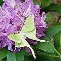 Luna Moth On Rhododendron 1 by Douglas Barnett