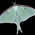 Luna Moth by Paul Ward