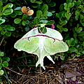 Luna Moths' Afternoon Delight by Carla Parris