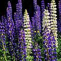 Lupine Flowers by John Burk