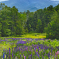 Lupine In Sugar Hill New Hampshire by Nancy Griswold
