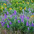 Lupines by Jean Noren