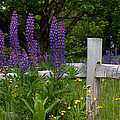 Lupines With Fence by Kathy Kenney