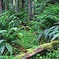 Lush Rain Forest In Olympic National Park by Pierre Leclerc Photography